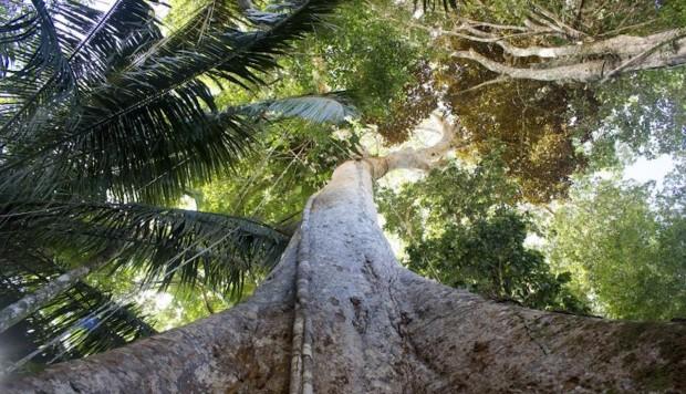 Talan árboles de 500 años en la Amazonía para fabricar pisos lujosos Shihuahuaco-arbol