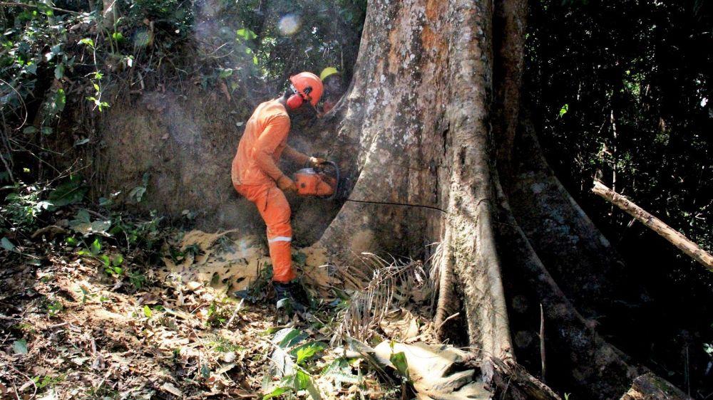 Tala de árboles de cientos de años en la Amazonía