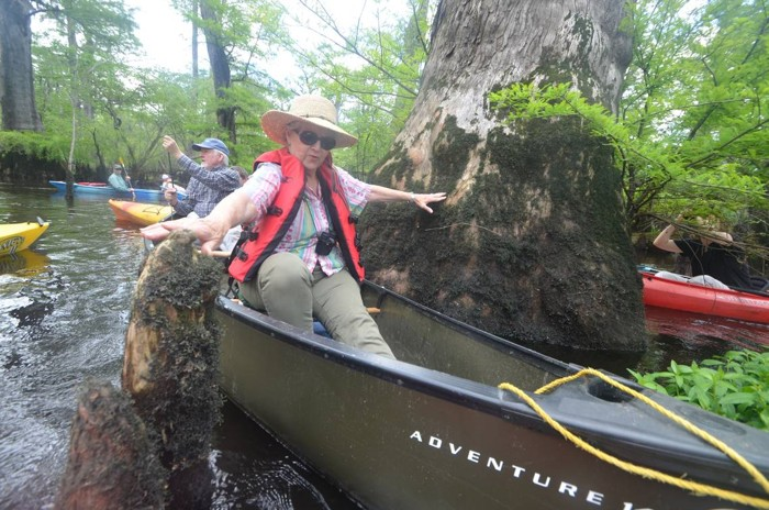Recientemente se ha descubierto un árbol de ciprés calvo de 2.624 años de edad en el pantano Three Sisters en el Río Negro en el sureste de Carolina del Norte