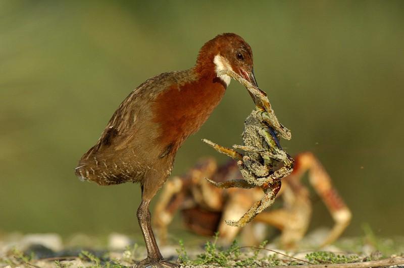 Un ave extinta regresa a la vida miles de años después