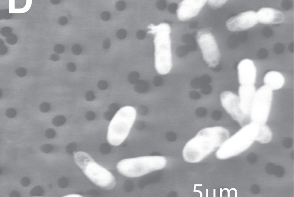 Una bacteria que puede crecer mediante arsénico en vez de fósforo