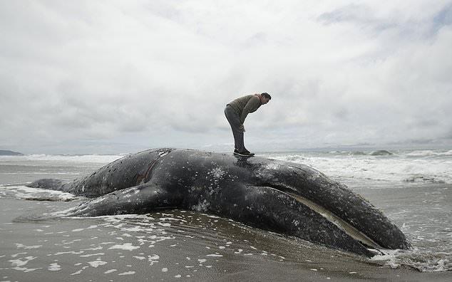 Los expertos en mamíferos marinos están preocupados por la muerte de una ballena gris que desembarcó en San Francisco. La ballena encontrada el lunes en Ocean Beach fue la novena descubierta en el área de la Bahía de San Francisco desde marzo