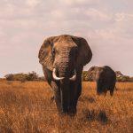 Botswana anula la prohibición de cazar elefantes