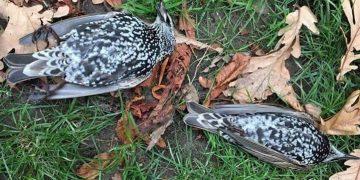 Centenares de pájaros murieron durante prueba de una antena 5G en Países Bajos
