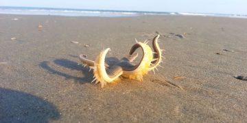 Este vídeo de una estrella de mar que «camina» es hermoso y perturbador al mismo tiempo