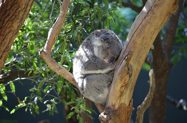 Expertos anuncian que los koalas están «funcionalmente extintos»