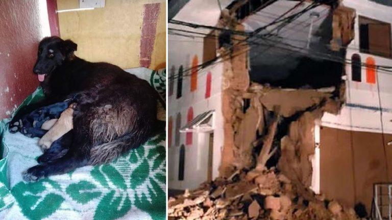 Lazzie, la perrita que salvó a sus amos en el terremoto de Perú y murió por salvar a sus cachorros