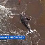 Nueve ballenas han sido halladas muertas hasta ahora en la Bahía de San Francisco