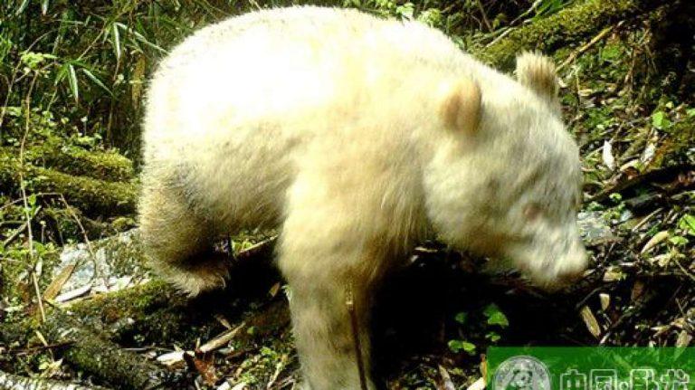 Observan por primera vez un raro panda albino en China