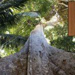 Talan árboles de 500 años en la Amazonía para fabricar pisos lujosos