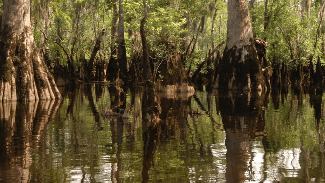 Un árbol de 2.624 años ha sido hallado en un pantano en América del Norte
