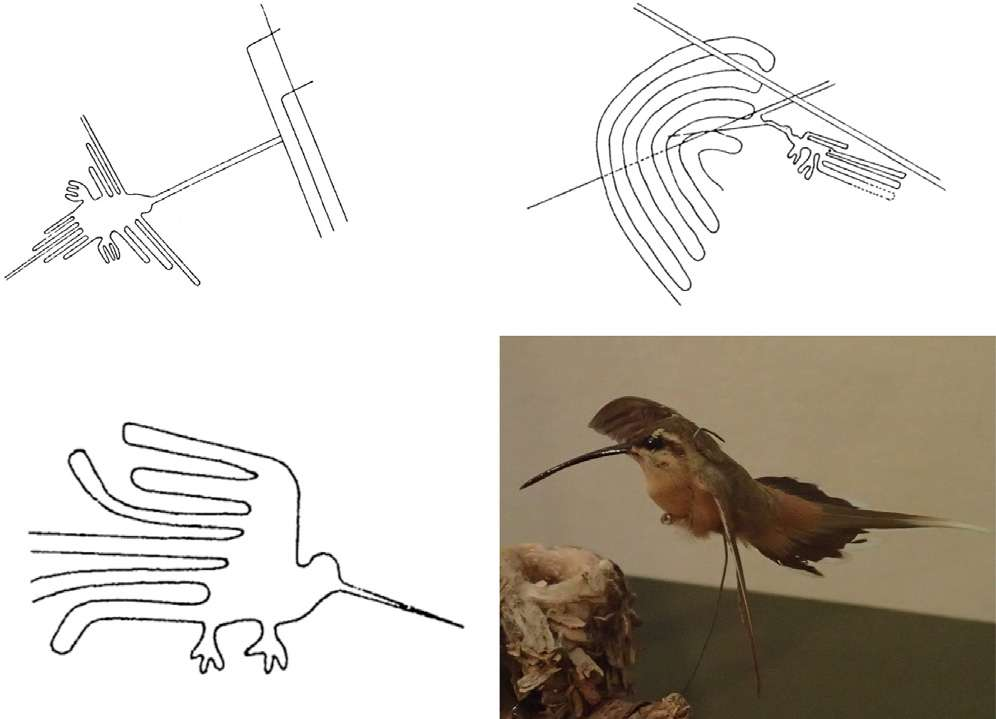 Los esquemas de los tres grabados que antes se pensaban que eran colibríes, al menos uno, y posiblemente todos, probablemente sea un ermitaño