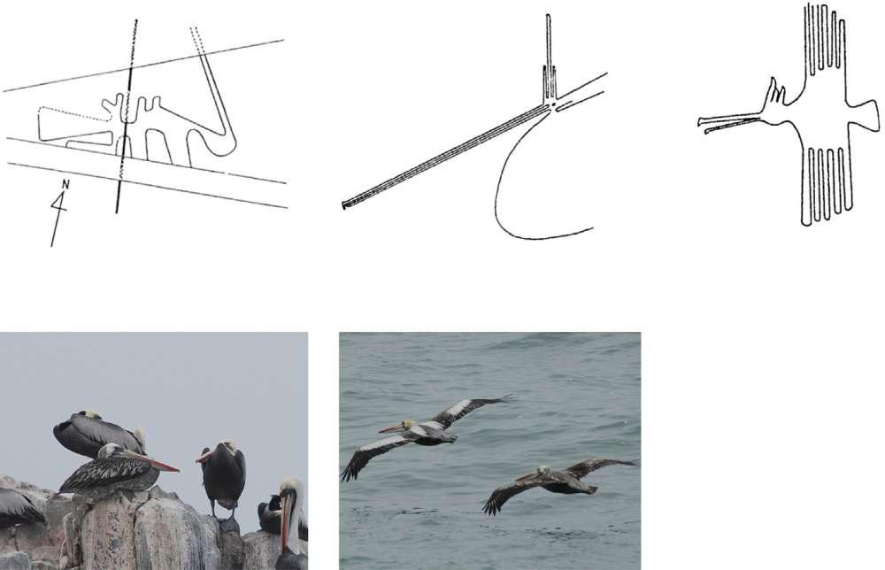 La imagen superior izquierda fue designada anteriormente como un pelícano, pero Eda cree que el caso es más fuerte para el segundo y tercer dibujo