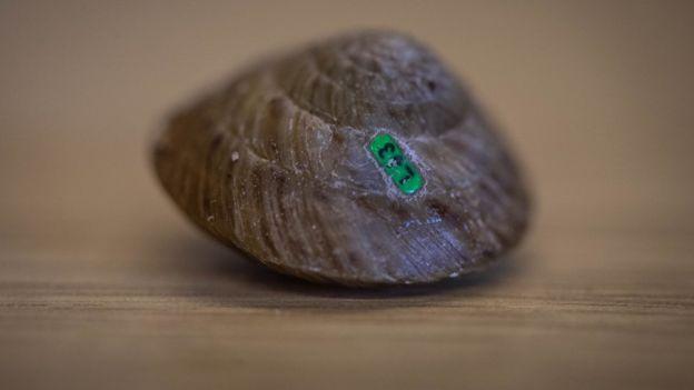 Uno de los caracoles equipado con una etiqueta fluorescente para poder ser rastreado
