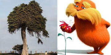 El árbol que podría haber inspirado al Dr. Seuss' «El Lorax» ha caído sin explicación