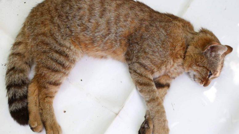 Hallan una nueva especie de gato-zorro en Córcega que se pensó como un mito durante mucho tiempo