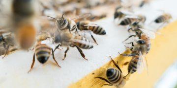Las abejas tienen la capacidad humana de vincular símbolos con números