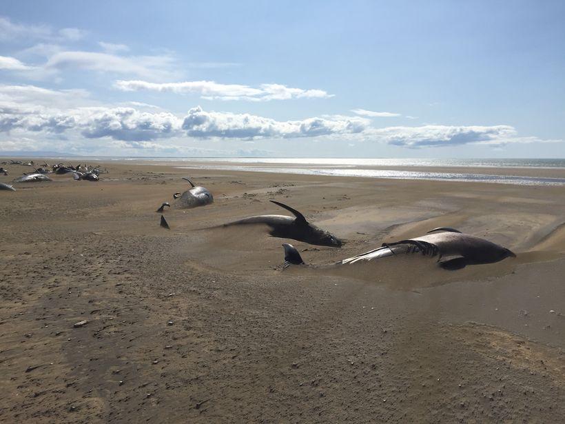 Las ballenas piloto varadas en Snæfellsnes, al oeste de Islandia