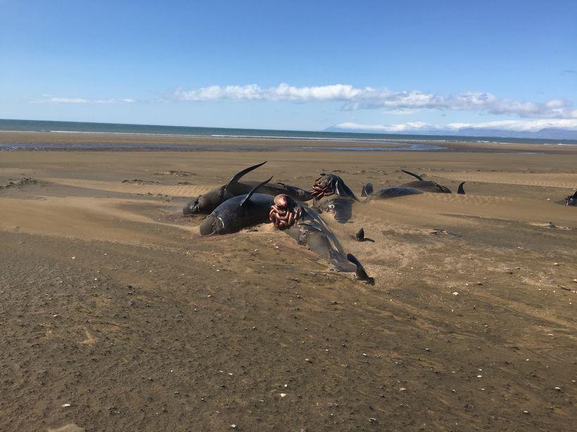 Más de 50 ballenas piloto quedan varadas y mueren en playa de Islandia