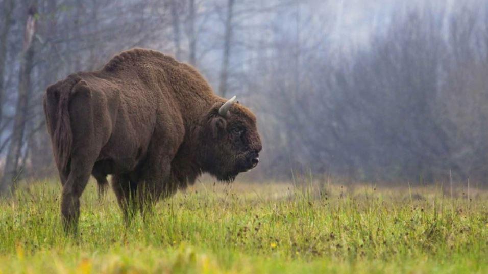 Este vídeo de un bisonte arrojando a una niña muestra que deberíamos respetar la vida silvestre