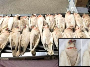 Decenas de aves caen del cielo sangrando por ojos y pico en Australia