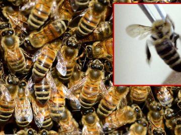 Docenas de abejas agonizan luego del terremoto de 7.1 en California