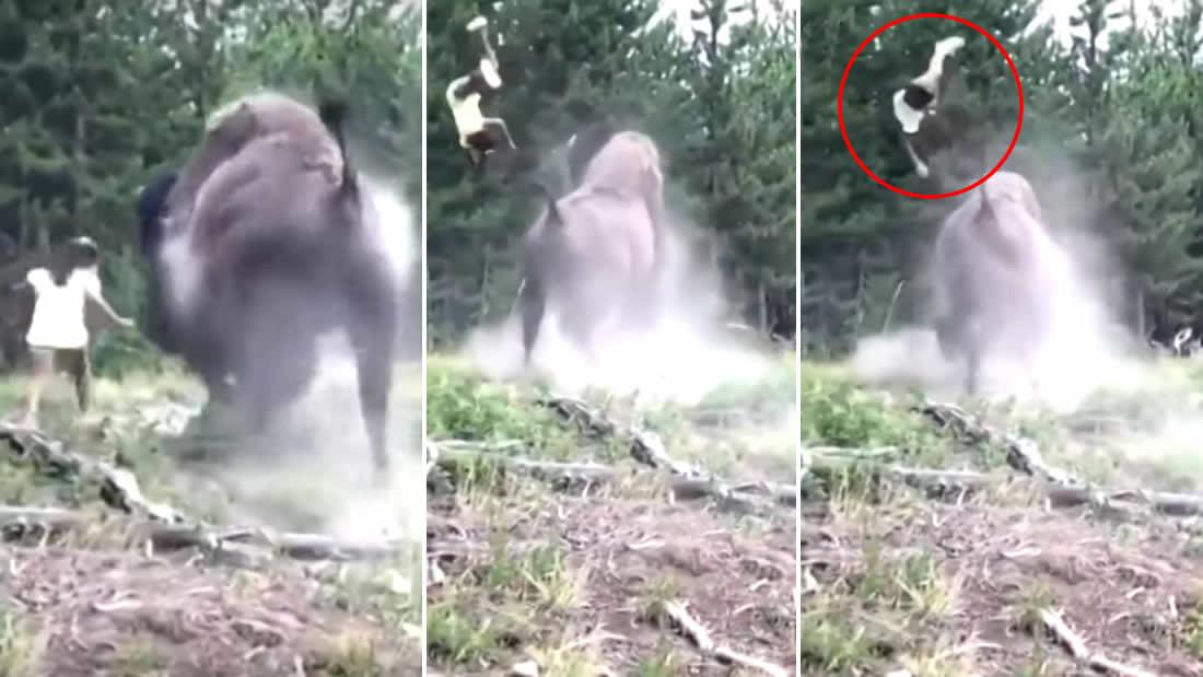Vídeo de un bisonte arrojando a una niña muestra por qué debemos respetar la vida silvestre