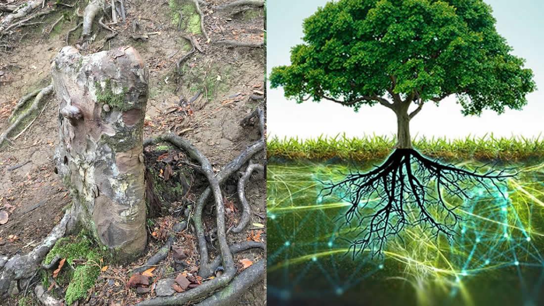 Hallan evidencia de que los árboles pueden mantenerse vivos unos a otros formando un «superorganismo»