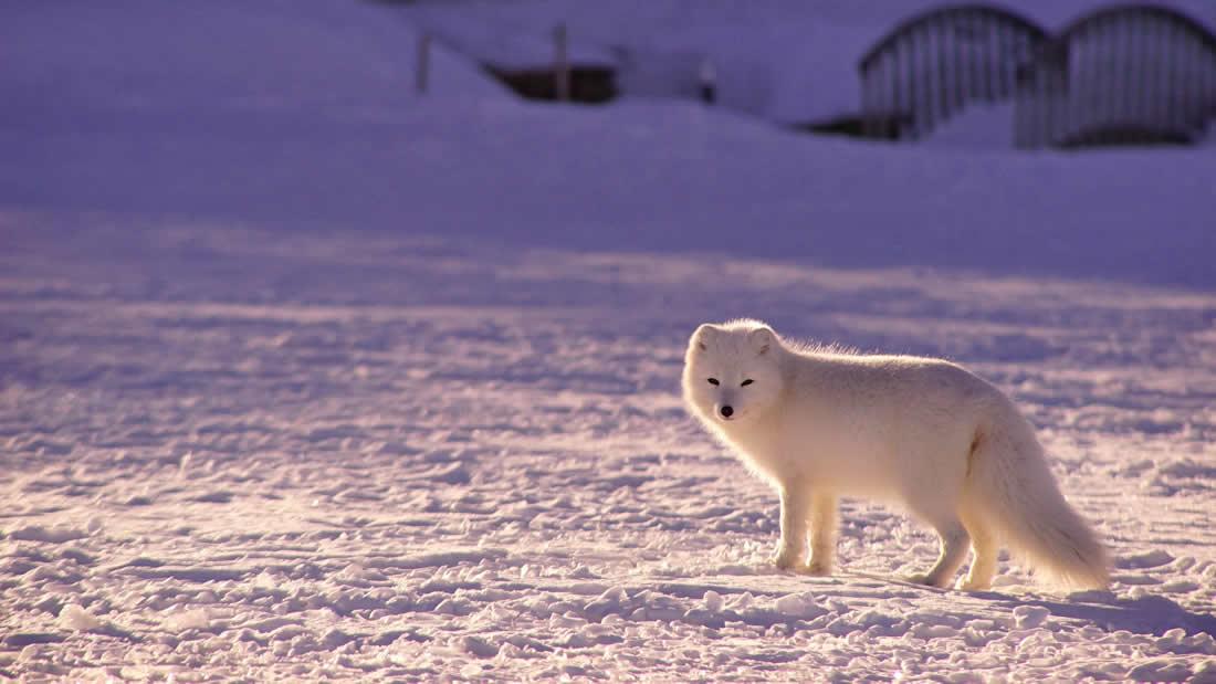 Zorro ártico ha caminado más de 4.350 kilómetros desde Noruega hasta Canadá, en solo unas semanas