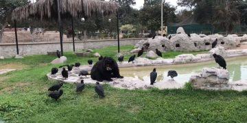 Oso de Anteojos es atacado por aves carroñeras en zoológico de Perú
