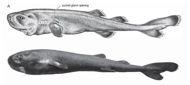 Descubren nueva especie de tiburón en miniatura que brilla en la oscuridad