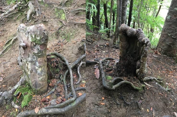 Vista de la parte delantera y trasera del tocón del árbol vivo
