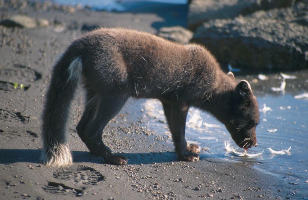 Los zorros ártico probablemente tendrán que cambiar la dieta si quieren sobrevivir