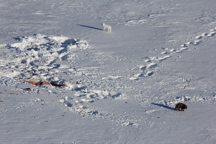 Un zorro ártico ha caminado más de 4.350 kms desde Noruega hasta Canadá, en solo unas semanas