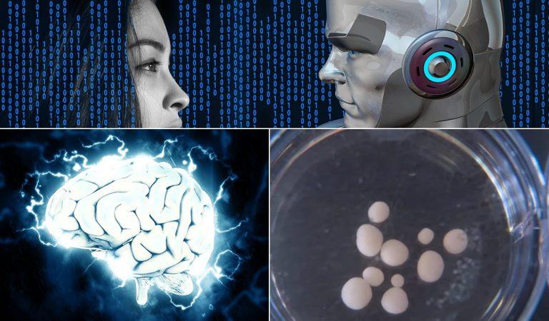 Científicos cultivaron pequeños cerebros humanos y los colocaron en robots