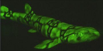 Estos tiburones brillan de color verde en la oscuridad y ahora sabemos por qué