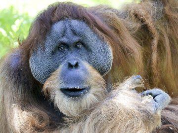 Orangutanes pueden controlar su voz de manera similar a los humanos