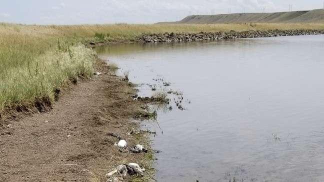Los cadáveres de aves acuáticas y aves playeras muertas por granizo de 2 pulgadas y viento de 70 mph quedaron regadas en la costa del Big Lake Wildlife Management Area