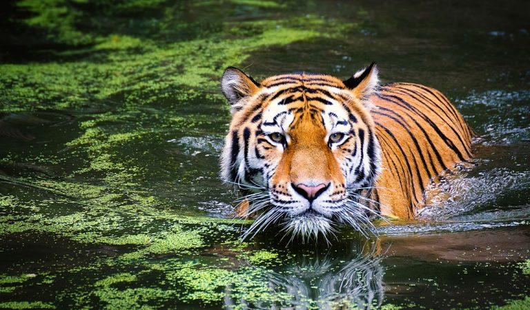 Población de tigres en la India ha aumentado un 32 por ciento desde 2014