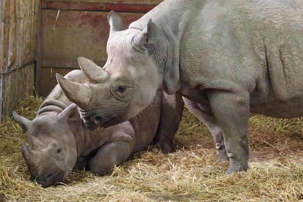 Dos rinocerontes negros
