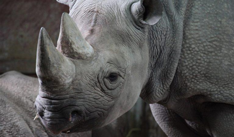 Sudáfrica duplicará la cantidad de rinocerontes para ser cazados como trofeos