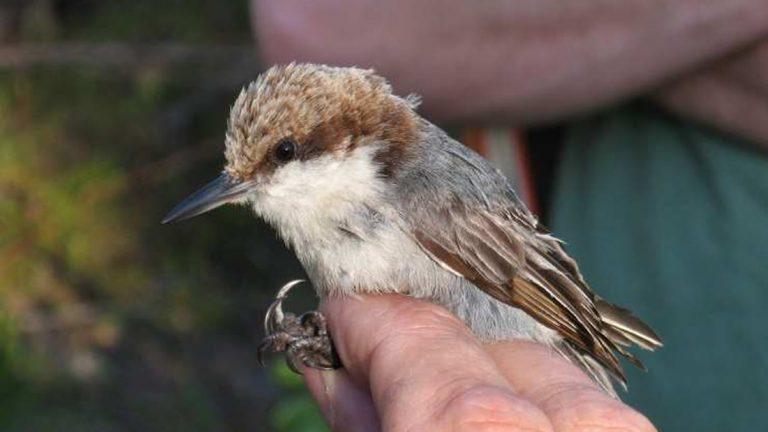 El huracán Dorian habría causado la extinción de una especie de ave