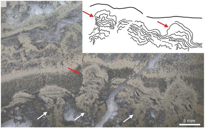 Estromatolitos analizados en la presente investigación