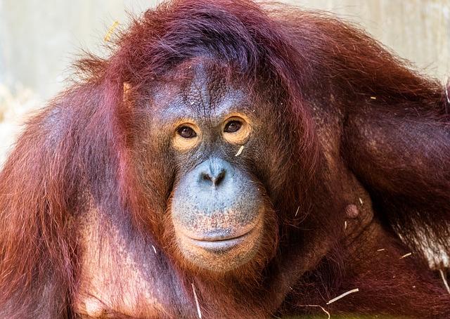 En Sumatra y Borneo viven orangutanes, animales en peligro de extinción, que ahora ven su hogar devorado por el fuego