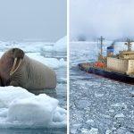 Morsas atacan y hunden un barco de la Armada Rusa en el Ártico