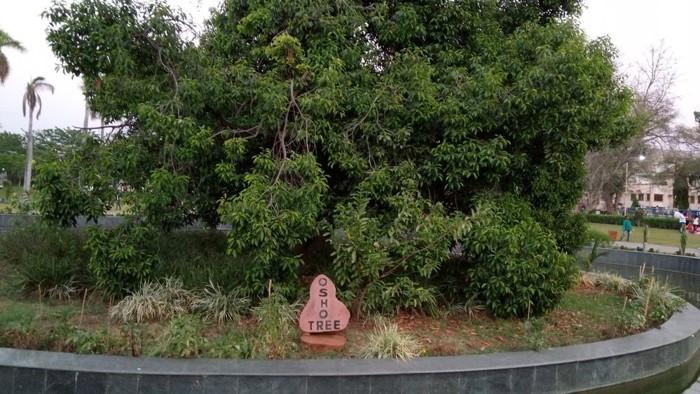 El famoso árbol de Osho, ubicado en el Jardín de Bhanvartal, Jabalpur, centro de la India, donde en 1953 el místico joven de tan sólo 21 años, se sintió todo con el uno. Hoy famoso centro de peregrinación