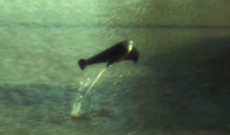 Extraños «peces robot» pueden saltar del agua impulsados por gas