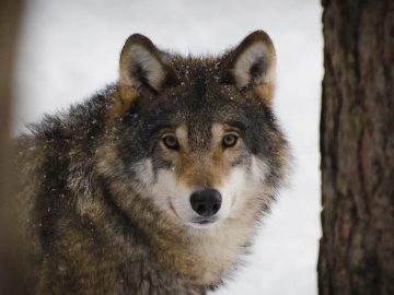 Primer lobo visto en Bélgica en un siglo es asesinado por cazadores