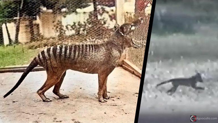 Tigre de Tasmania declarado extinto hace 80 años ha sido visto nuevamente y en ocho ocasiones