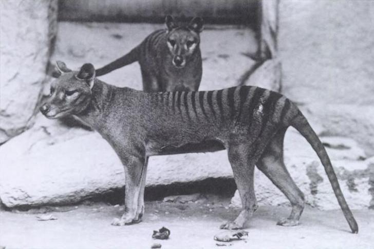 Dos tigres de Tasmania (macho y hembra) en 1902 en el National Zoo en Rock Creek Park en Washington (EE.UU.)